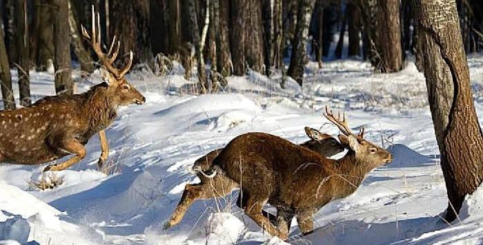 Зимняя охота на оленя с собакой
