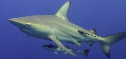 Как быстро акулы плавают?
