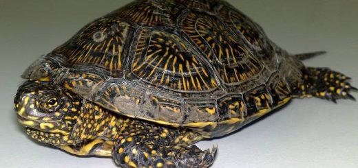 Как ухаживать за болотной черепахой