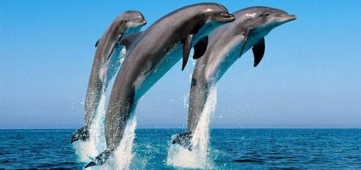 Дельфины обращаются друг к другу по именам