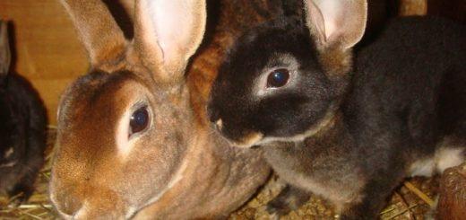 Домашние декоративные кролики