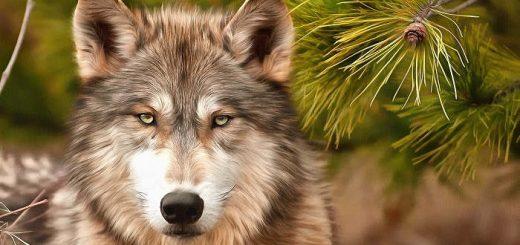 Гибель волков в Мексике
