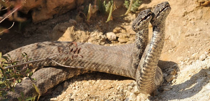 Гюрза - это крупная ядовитая змея