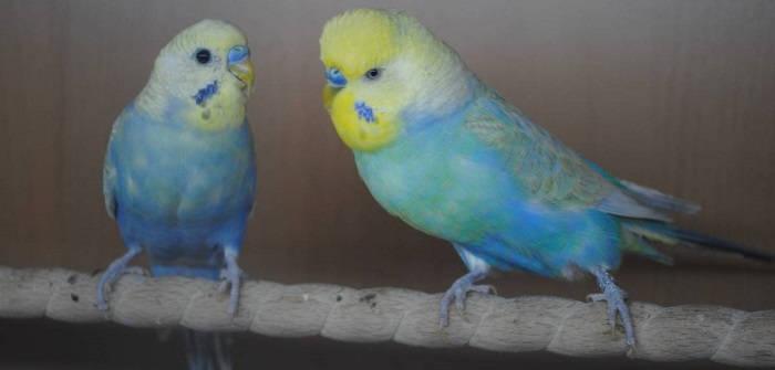Как содержать домашних попугаев