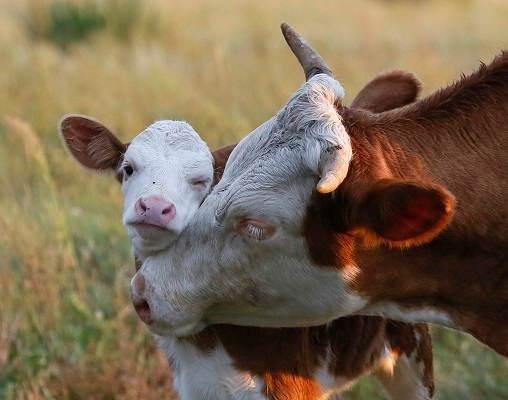 Как подготовить к отелу корову