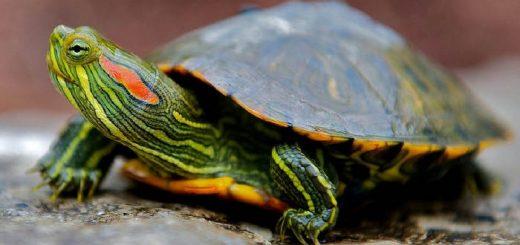 Как ухаживать за красноухой черепахой