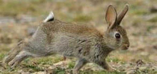 Кролики - экологическое бедствие
