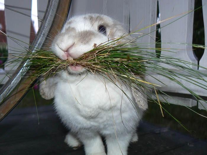 Грубый корм в рационе кроликов