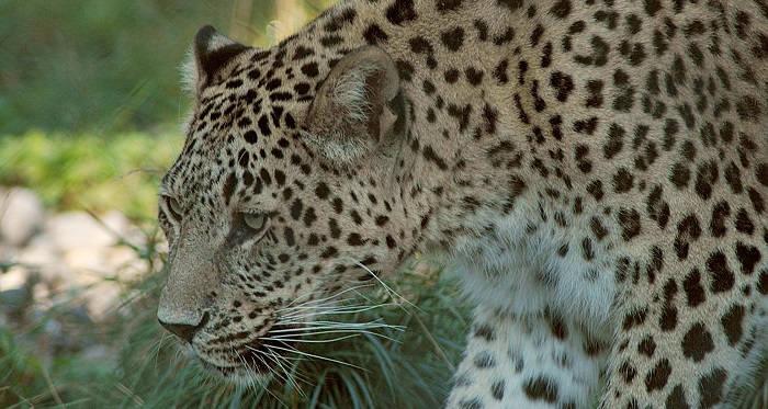 Леопард: внешний вид, образ жизни