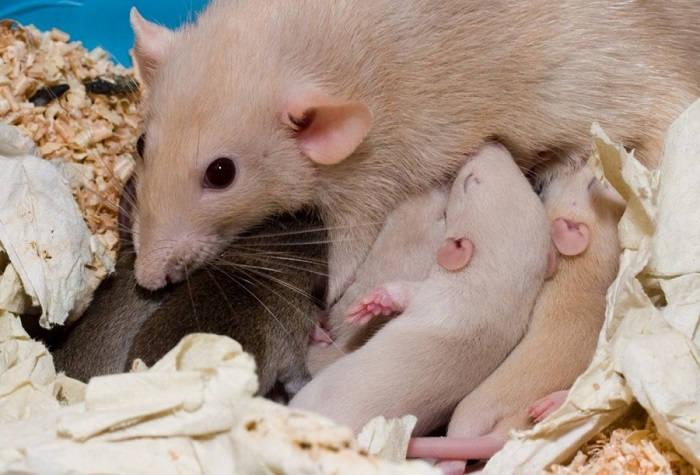 Материнское поведение крысы