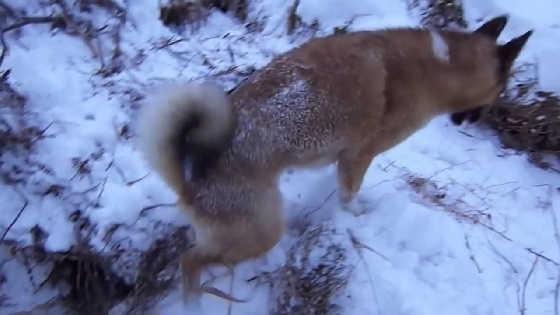 Не бросайте собак на охоте