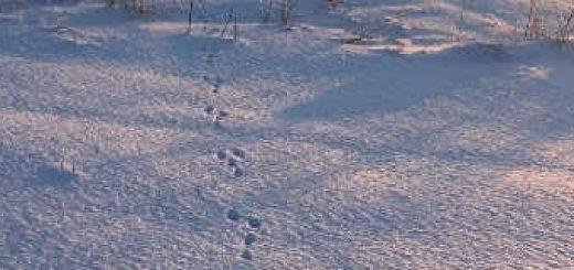 Охота на зайца крупным планом