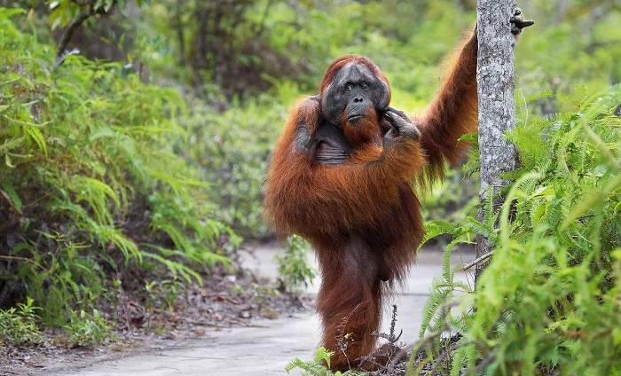 Обыкновенный орангутан