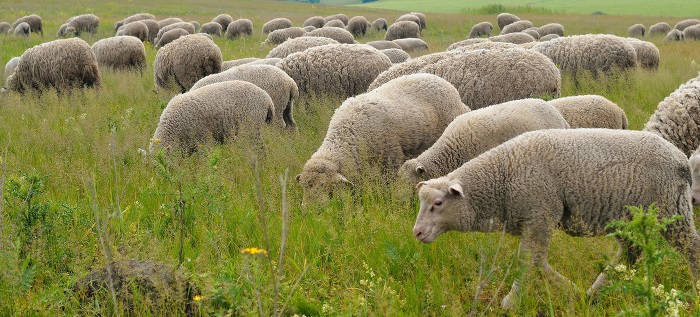 Некробациллез у овец