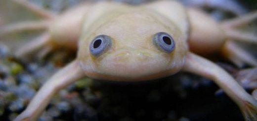 Гладкая шпорцевая лягушка, или ксенопус Левис