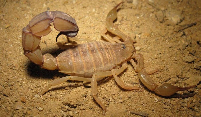 Скорпион: образ жизни