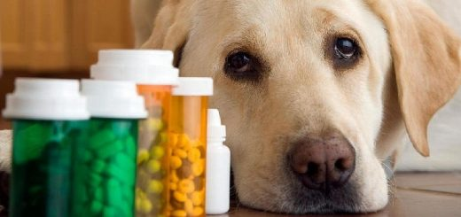 Как лечить недержание мочи у собак