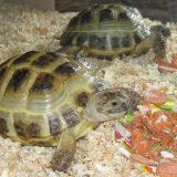Как ухаживать за среднеазиатской черепахой
