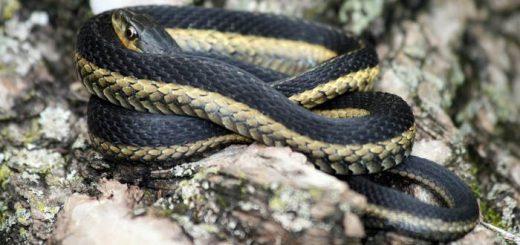 Садовые змеи
