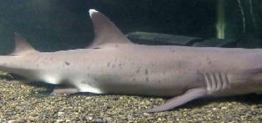 Можно ли завести дома акулу?