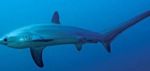 На каком языке говорят акулы