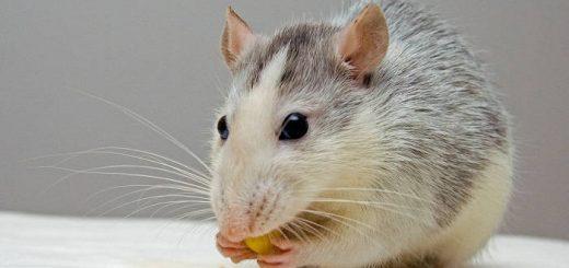 Чем следует кормить домашнюю крысу