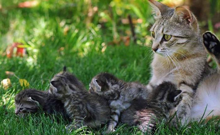 Останавливаем лактацию у кошки