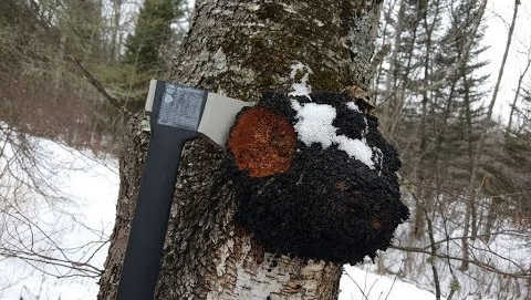 В зимний лес за чагой
