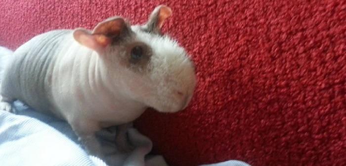 Лысые бесшерстные свинки