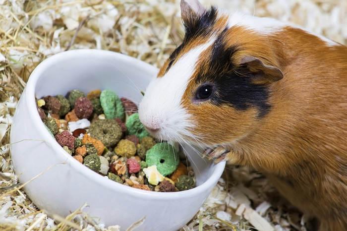 Чем лучше кормить морских свинок