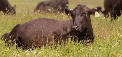 Продолжительность нагула скота