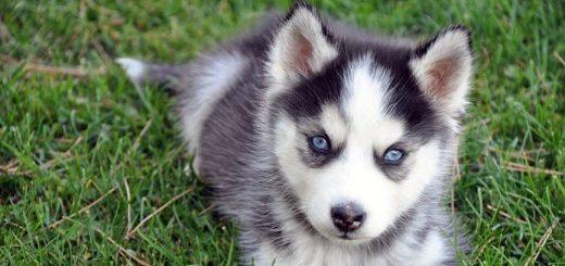 Как восстановить родословную собаки