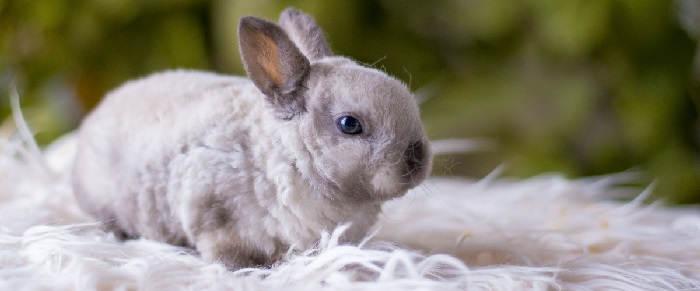 Содержание карликового кролика