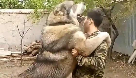 Кавказский волкодав Хазар