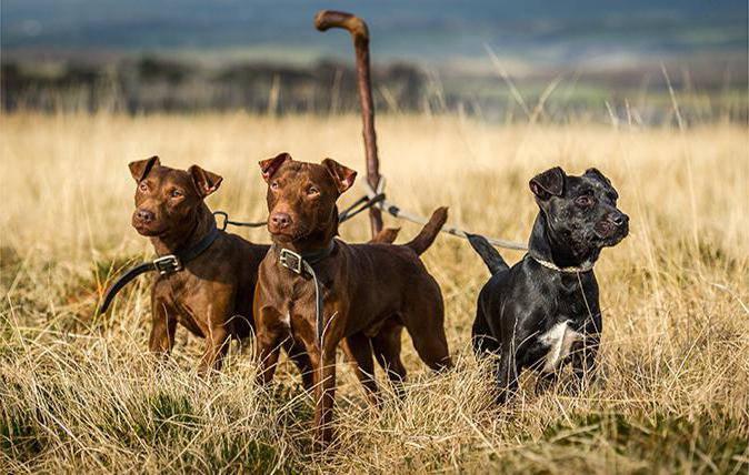 характеристики собаки породы паттердейл-терьер