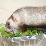 Чем кормить домашнего хорька