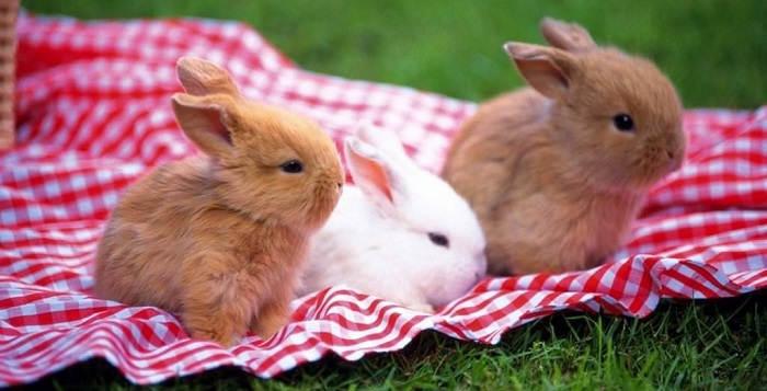 Как выбрать декоративного кролика