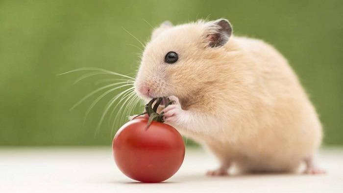 Чем можно кормить домашних хомячков?