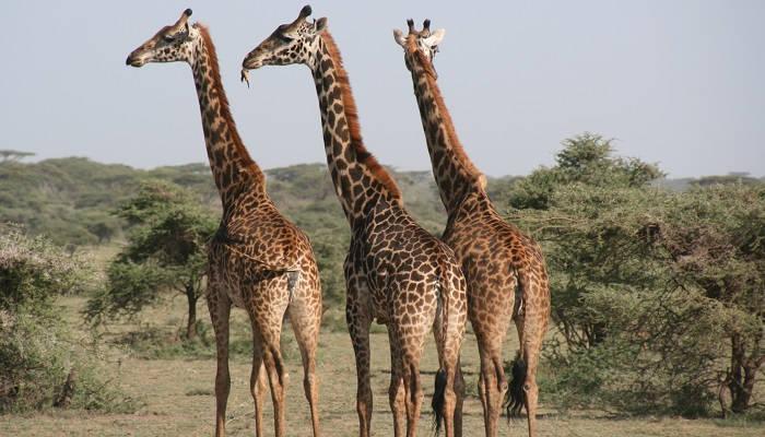 Эти удивительные жирафы