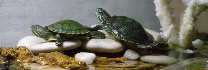 Основы содержания домашних черепах