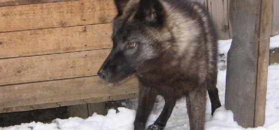 Самый крупный волк в мире