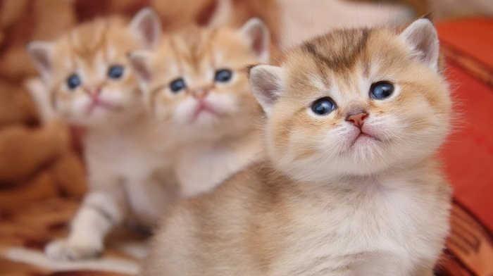 Купить котенка