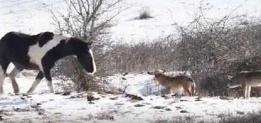 Лошадь не испугалась стаи волков