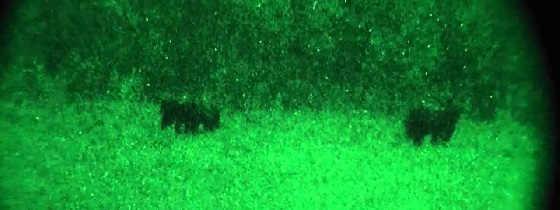 Ночная охота медведя на кабанов