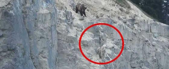 Нападения медведя на козу