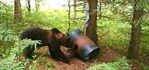 Медведь на приваде