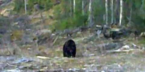 Медведь у лабаза