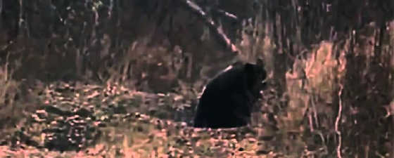 Медведи учуяли кабана