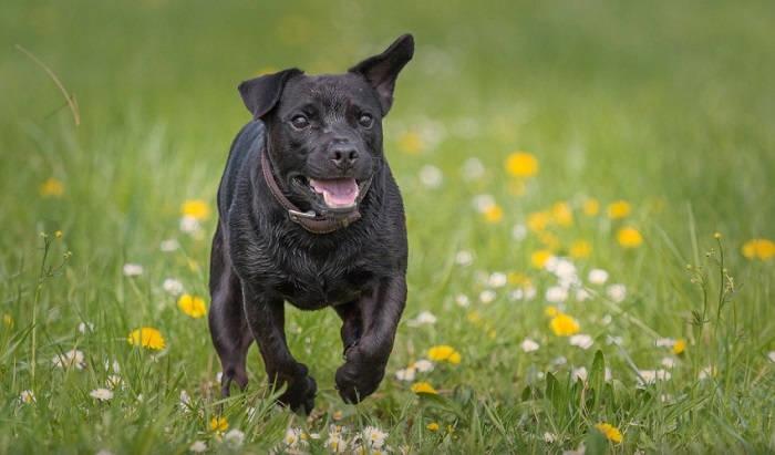 паттердейл-терьер собака