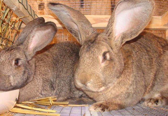 Отличия пород кроликов